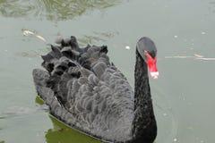 Один красивый черный лебедь плавая на поверхность озера стоковая фотография rf