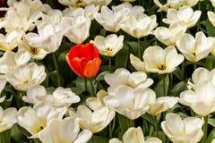 Один красный тюльпан среди много белых тюльпанов стоковая фотография