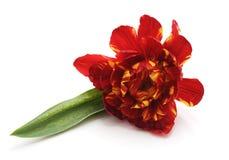 один красный тюльпан Стоковая Фотография RF
