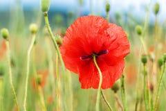 Один красный цветок мака Вспоминать день стоковое фото