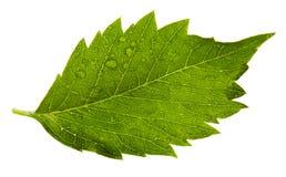 Один листь Стоковые Фото