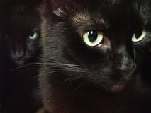 Один любознательный черный кот и злий кот над его плечом i Стоковые Фото