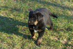 Один маленький черный коричневый щенок стоит в зеленой траве в парке стоковая фотография