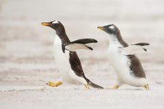 Один молодой пингвин gentoo бежать после родителя и прося еда Стоковые Фото