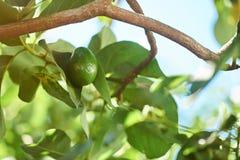 Один овощ авокадоа Стоковая Фотография RF