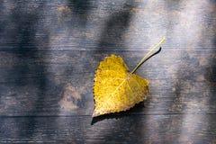 один одиночный желтый и оранжевый лист дерева тополя засыхания Стоковые Фото