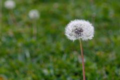 Один одуванчик в зеленом поле Стоковая Фотография
