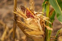 Один последний кукурузный початок выведенный в это сжал поле Стоковое Изображение RF