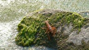 Один рак реки спускает от камня в воду предусматриванную с водными путями или грязью сток-видео