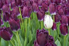 Один свежий белый тюльпан в цветени с много фиолетовых одних Стоковые Изображения RF