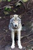 Один серый волк сидя вниз в лесе стоковое фото