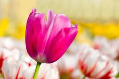 Один тюльпан сирени розовый в поле цветка с тюльпанами Стоковая Фотография RF