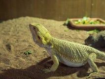 Один хамелеон на песке Стоковая Фотография