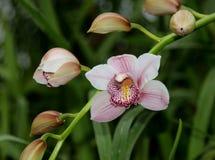 Один цветок и пук бутонов розовой орхидеи Cymbidium Стоковые Фото