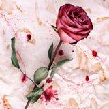 Один цветок красной розы на скомканной достигшей возраста бумажной предпосылке с краской закрывает крупный план, приглашение праз стоковые изображения
