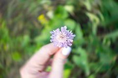 Один цветок Pincushion Scabiosa цветка поля сирени в женской руке стоковые изображения rf
