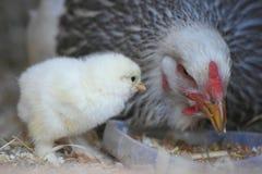 Один цыпленок дня старый и его мама стоковое фото rf