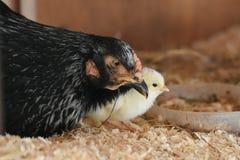 Один цыпленок дня старый и его мама стоковые изображения rf