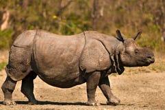 Один horned носорог Стоковое Фото