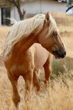 Одичалая американская лошадь мустанга в пустыне сьерра-невады Стоковая Фотография