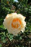 Одичалая белая роза на королевском саде Стоковая Фотография