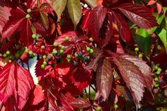 Одичалая виноградина в осени Стоковые Фотографии RF