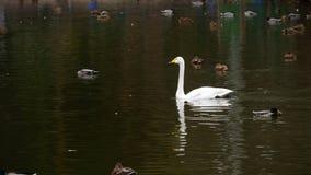 Одичалая водоплавающая птица на пруде акции видеоматериалы