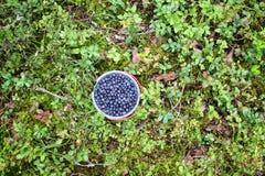 Одичалая голубика в лесе лета Стоковые Фотографии RF