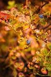 Одичалая голубика леса в фотографии макроса Стоковые Изображения