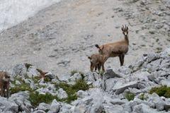 Одичалая застенчивая коза горы в природе стоковые изображения