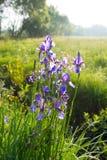 Одичалая зацветая фиолетовая радужка весной Стоковая Фотография