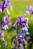Одичалая зацветая фиолетовая радужка весной Стоковые Фотографии RF