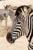 одичалая зебра Стоковая Фотография