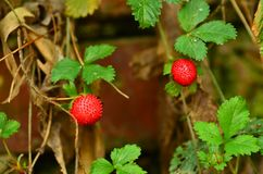 Одичалая клубника с ягодами стоковое изображение rf