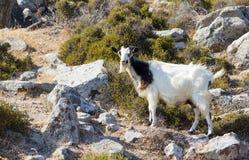 Одичалая козочка в крутом горном склоне в острове Milos Стоковая Фотография