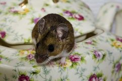 Одичалая коричневая домовая мышь взбираясь из зацветенного бака чая фарфора Стоковые Фото
