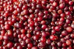 Одичалая красная деталь плодоовощей ягод еда предпосылки здоровая Стоковые Изображения