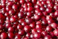 Одичалая красная деталь плодоовощей berrys еда предпосылки здоровая Стоковые Фотографии RF