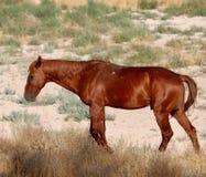 Одичалая лошадь мустанга пася самостоятельно в пустыне Невады Стоковое фото RF