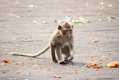 Одичалая обезьяна в Lopburi Стоковое Фото