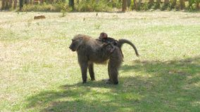 Одичалая обезьяна матери продолжает назад ее ребенка в их естественной среде обитания 4k акции видеоматериалы