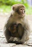 Одичалая обезьяна нянчя ее ребенка Стоковое Изображение RF