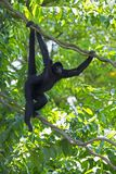 Одичалая обезьяна паука стоковое фото