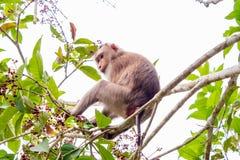 Одичалая обезьяна сидя на ветви на национальном парке Khao Yai, Thail Стоковое Изображение RF