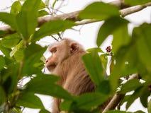 Одичалая обезьяна сидя на ветви на национальном парке Khao Yai, Thail Стоковые Изображения RF