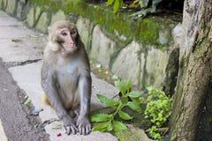 Одичалая обезьяна сидя на обочине Стоковое Изображение