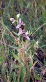 Одичалая орхидея от Франции - орхидея пчелы стоковое фото