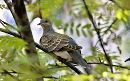 Одичалая птица голубя, редких и опасливых с латинской горлицей имени Стоковое Изображение RF