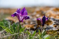 Одичалая радужка blossoming в солнечном весеннем дне Стоковые Изображения RF