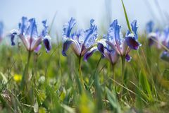 Одичалая радужка blossoming в солнечном весеннем дне Стоковое Изображение RF